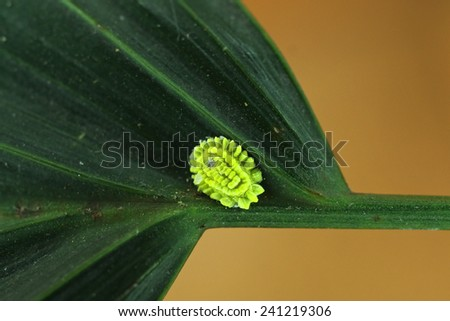 scale insect is attaching on the tree leaf - stock photo