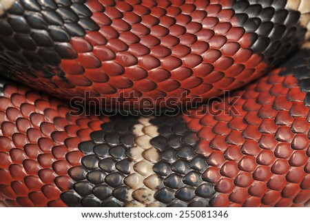 Scales of Scarlet kingsnake Lampropeltis triangulum. - stock photo
