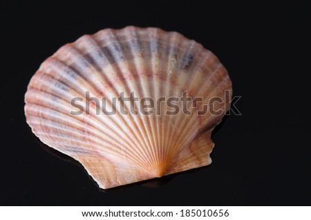 Scallop sea shell on a reflective black surface