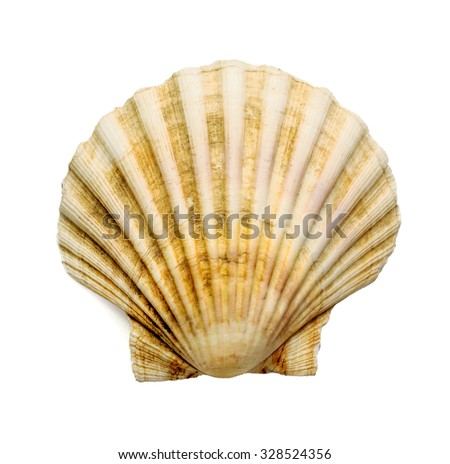 scallop shell over white background