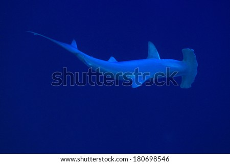 Scalloped hammerhead shark in the deep blue water of the red sea  - stock photo