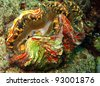 Scaly Giant Clam/Squamose Giant Clam, Kakaban, Indonesia - stock photo