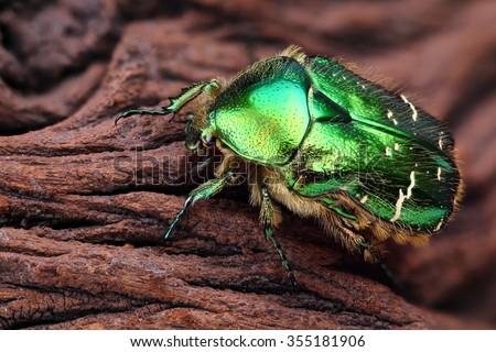 Scarabeus (Cetonia aurata) close up - stock photo