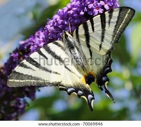 Scarce swallowtail (Iphiclides podalirius) butterfly is sitting on a butterfly-bush flower (buddleja davidii). Shallow DOF - stock photo