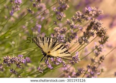 Scarce Swallowtail (Iphiclides podalirius) on lavender - stock photo