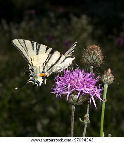 scarce swallowtail ( Iphiclides podalirius ) ona violet flower - stock photo