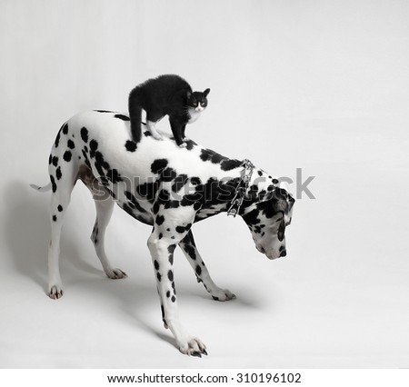 Scared black cat riding a Dalmatian dog who looks - stock photo