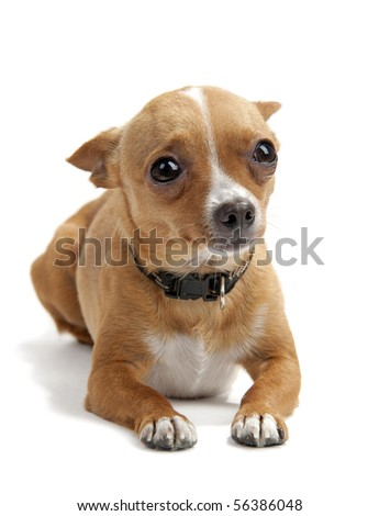 Scared chihuahua with his ears down on the white background in the studio