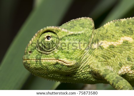 scared green chameleon watching - stock photo