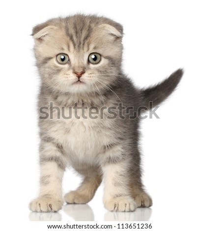 Scared kitten on a white background with reflection