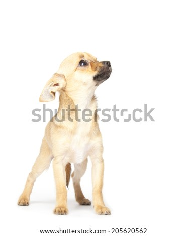 scared puppy on white background - stock photo
