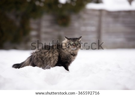 scared tabby cat sitting in the snow - stock photo