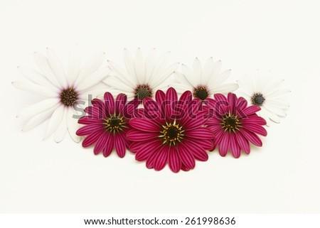 scarlet abd white daisies - stock photo