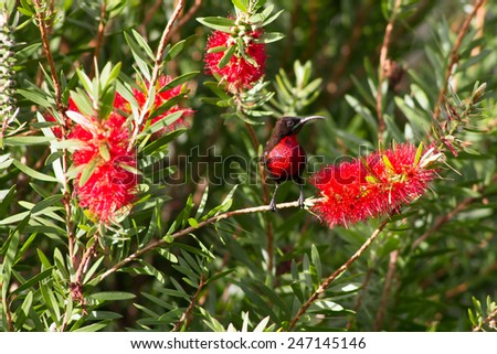 Scarlet-chested sunbird on a flower, Namibia, Africa - stock photo