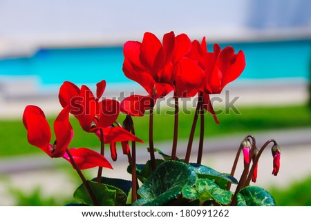 Scarlet Cyclamen blooming in the garden - stock photo