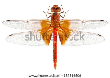 Scarlet Dragonfly species Crocothemis erythraea in high definition with extreme focus and DOF (depth of field) isolated on white background with clipping path - stock photo