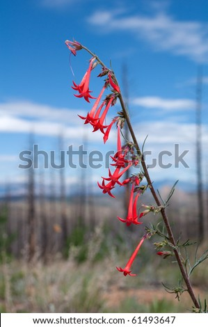 Scarlet Gilia (Ipomopsis aggregata) grows in the Hayman Fire burn area in Pike National Forest, near Woodland Park, Colorado. - stock photo