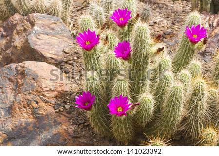 Scarlet Hedgehog cactus blooming; Botanical Garden, Phoenix, AZ - stock photo