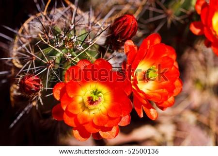Scarlet Hedgehog Cactus flowers blooming in spring - stock photo