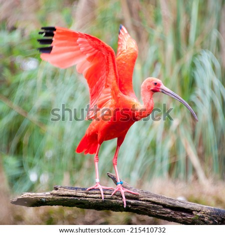 Scarlet Ibis - stock photo