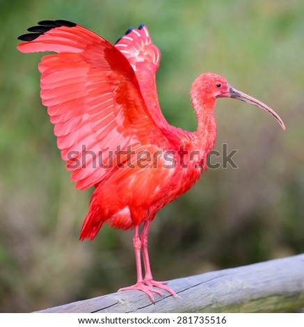 Scarlet Ibis Bird with it's wings outstretched - stock photo