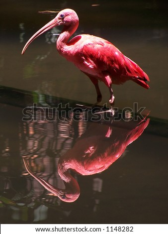 Scarlet ibis (Eudocimus ruber) - stock photo