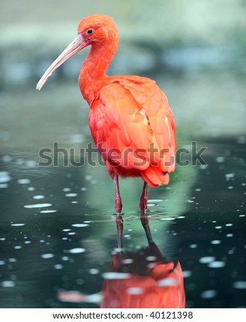 scarlet ibis in water with reflection, colombia, south america, red bird - stock photo