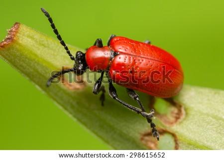 Scarlet lily beetle, Lilioceris lilii on damaged leaf - stock photo