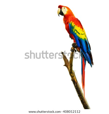 Scarlet macaw bird sitting on branch, isolated on white background. - stock photo