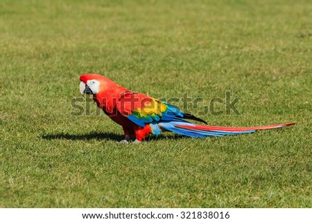 Scarlet Macaw on the ground. A beautiful scarlet macaw is seen standing in a grassed area. - stock photo