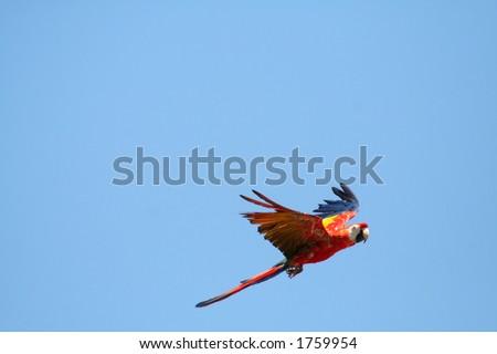 Scarlet Macaw parrot in flight,Ara macao - stock photo