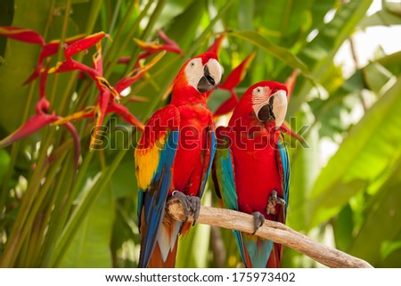 Scarlet macaw parrots on the tree - stock photo