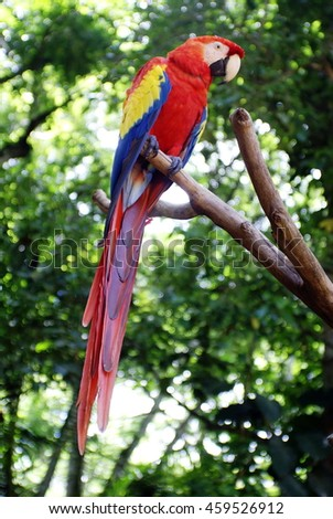 Scarlet macaw (Ramphastos sulfuratus) on a perch in a bird park in Copan, Honduras