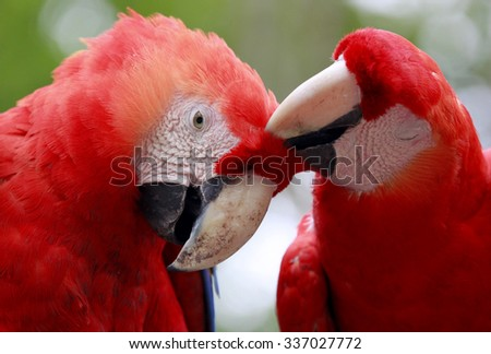 Scarlet Macaws  - stock photo