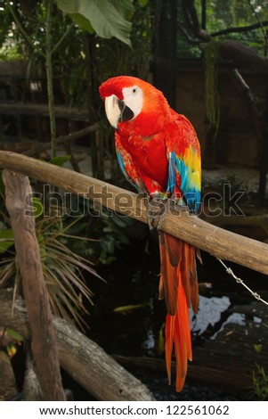 Scarlet macaws on white background - stock photo