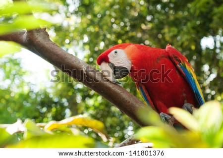 Scarlet Macaws Parrot - stock photo