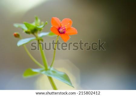 Scarlet Pimpernel (Anagallis arvensis) - stock photo