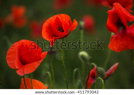 Scarlet poppies in green grass blooming on field. Close-up - stock photo