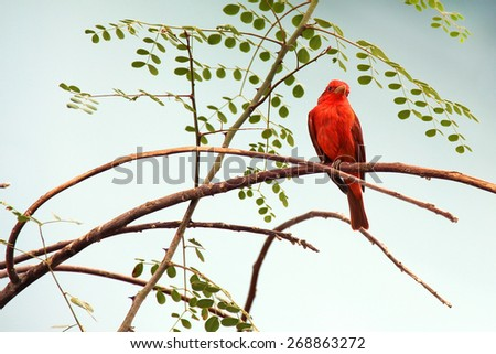 Scarlet Tanager, a birds of North America - stock photo