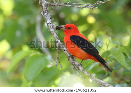 Scarlet Tanager (Piranga olivacea) Eating a Mulberry - High Island, Texas - stock photo