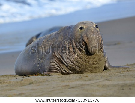 scarred adult elephant seal on beach, big sur, california - stock photo