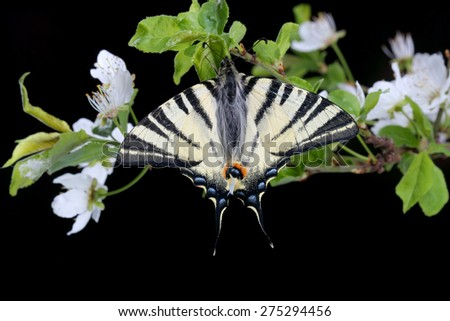 Scarse swallowtail ( Iphiclides podalirius) sitting on cherries branch on black background - stock photo