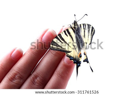 Scarse swallowtail (Iphiclides podalirius) sitting on human fingers on white - stock photo