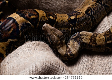 Scary and dangerous snake sitting.  - stock photo