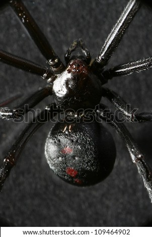 Scary black widow spider used for Halloween haunted house.   Macro Close up.