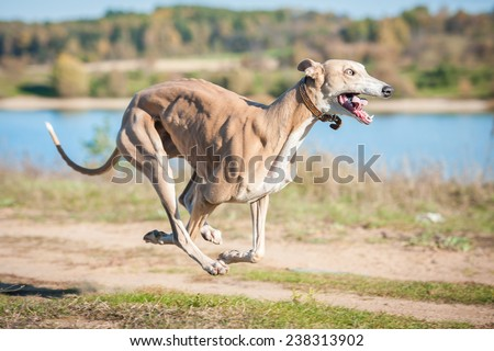 Scary dog with crazy eyes running - stock photo
