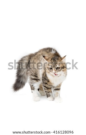 Scary tabby Persian kitten on white background - stock photo