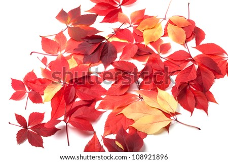 Scattered autumn leaves on white background. Virginia creeper leaves.