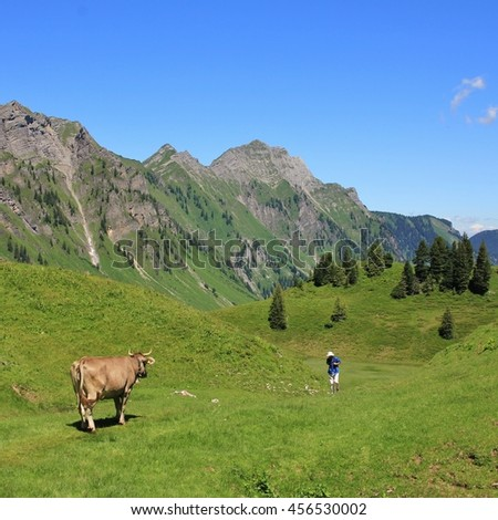 Scene on the hiking route from lake Obersee to lake Klontalersee. Cow on a green mountain meadow looking at a comming hiker. Mt Brunnelistock. Summer scene in the Swiss Alps.