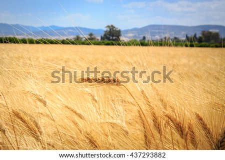 Scene with ear of wheat field in summer time - stock photo